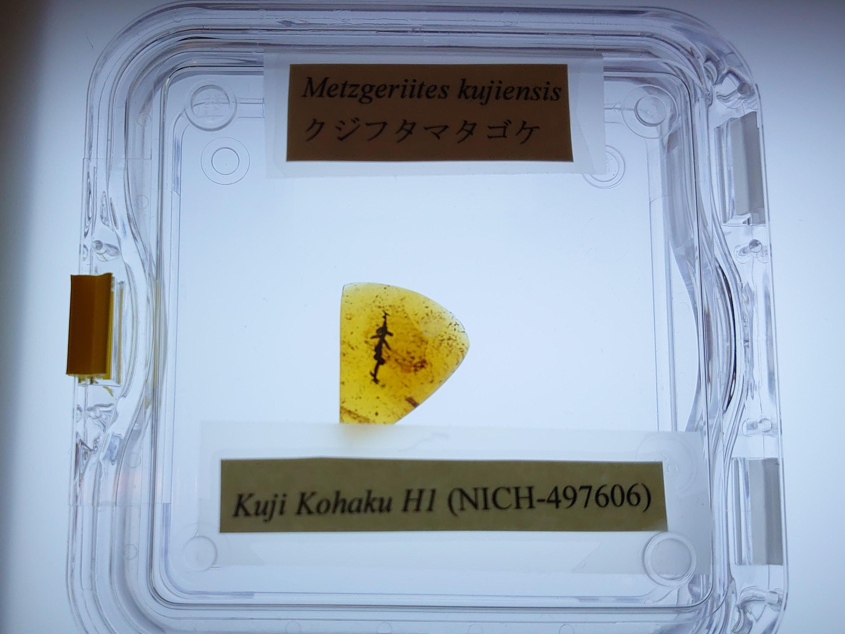 画像:久慈の琥珀から新種のコケが発見されました。